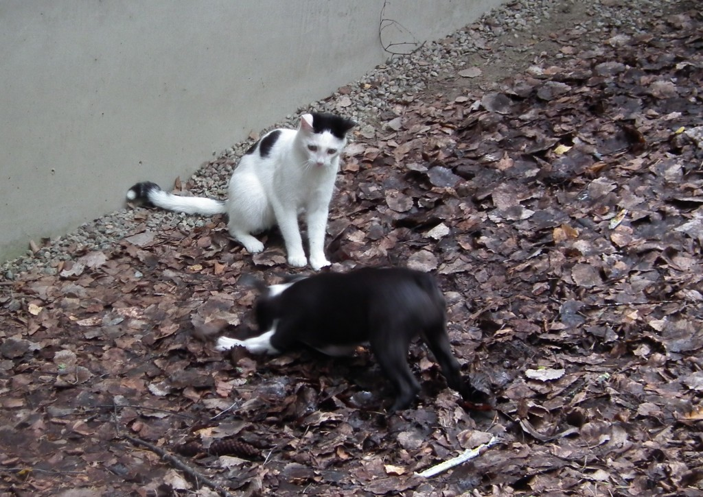 blogg,bostonterrier,valp,katt,lek
