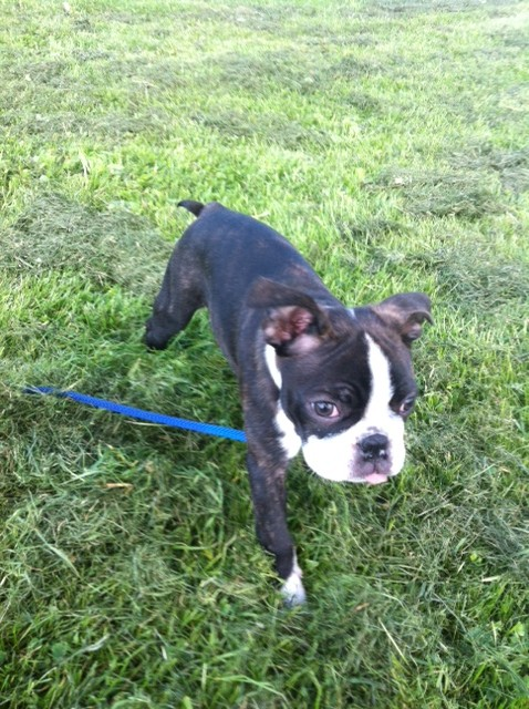 blogg,bostonterrier