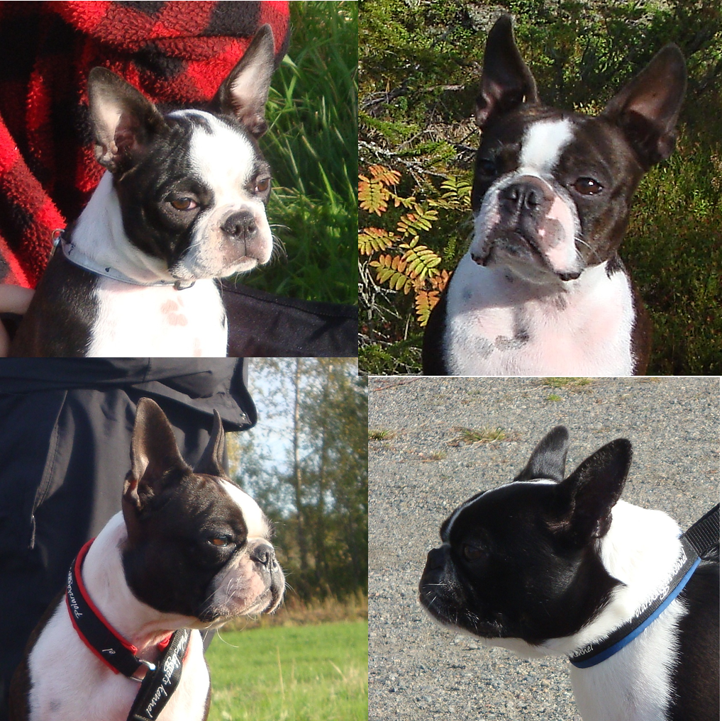 blogg;bostonterrier;polarskäggets kennel;valpträff