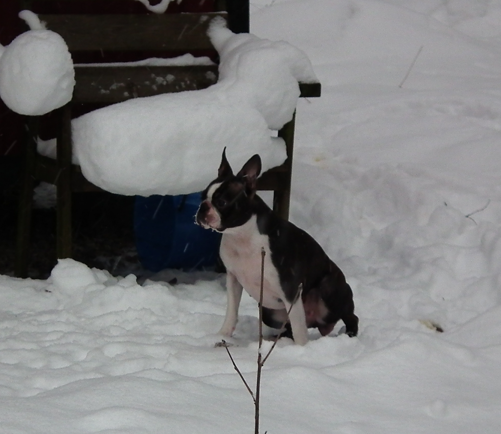 blogg;bostonterrier;polarskäggets kennel;bedårande bella
