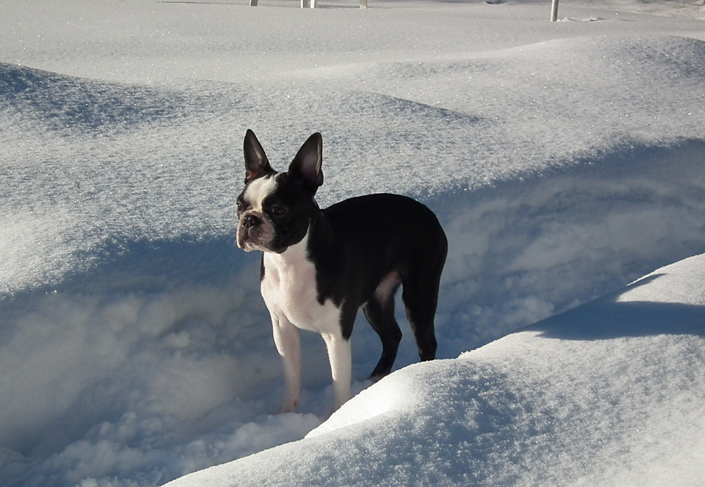 blogg;bostonterrier