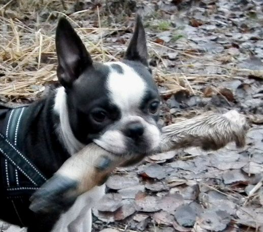 blogg;bostonterrier;viltspår