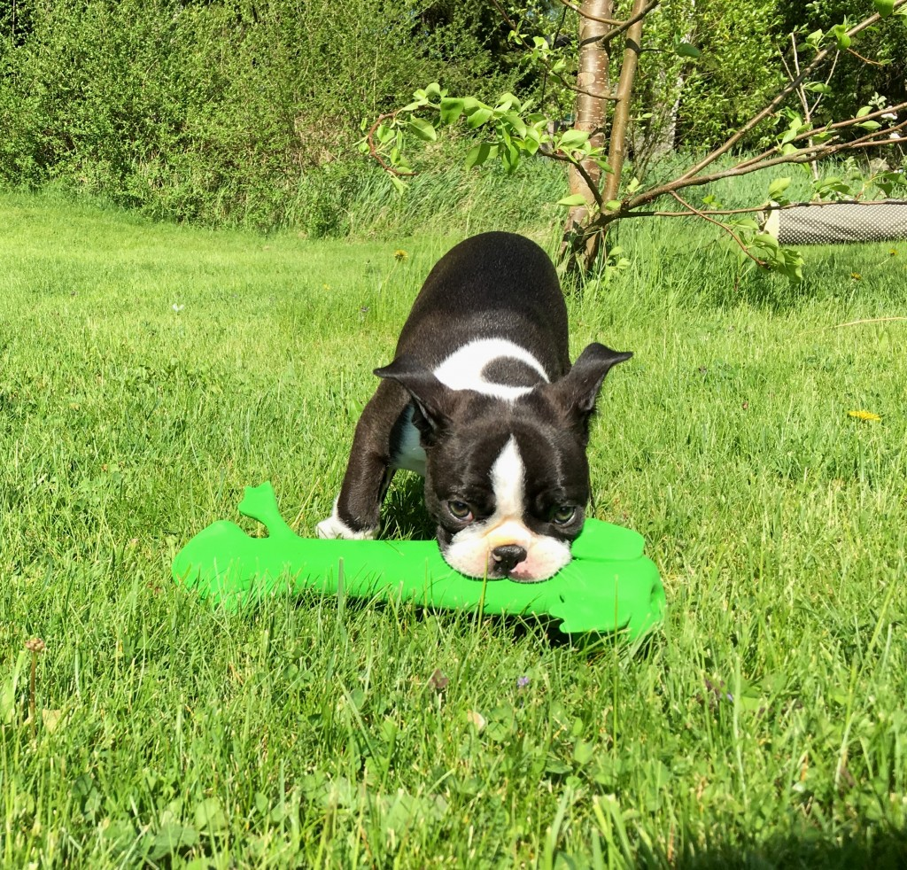 bostonterrier;blogg